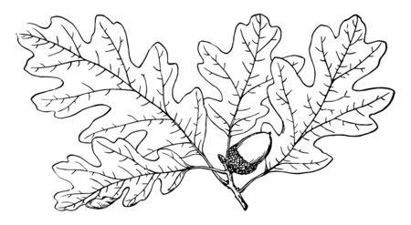 This is a branch of Garry Oak. The fruit is near leaf. This is mostly found in southern California to southwestern British Columbia, vintage line drawing or engraving illustration.