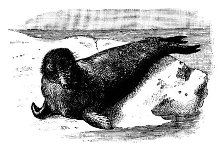 Elephant Seal on a Rock which is the largest of the otaries, vintage line drawing or engraving illustration. Standard-Bild - 132982009