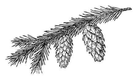 Pine cones hanging on a branch. Leaves are like needles, vintage line drawing or engraving illustration. Standard-Bild - 132982027