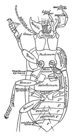 Beetle is a harpalus caliginosus, vintage line drawing or engraving illustration. Foto de archivo - 133066725