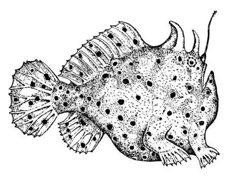 Antennariid are any member of the anglerfish family Frogfishes, vintage line drawing or engraving illustration.