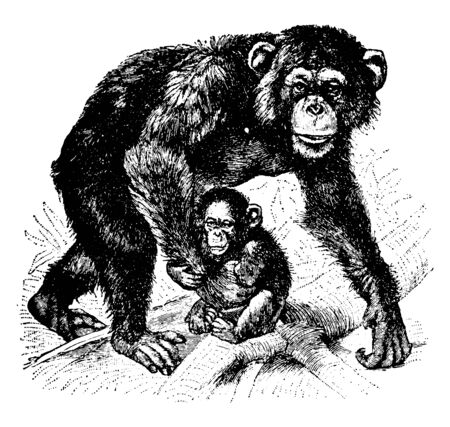 Chimpanzee consists of two extant species which are the common chimpanzee and the bonobo, vintage line drawing or engraving illustration.