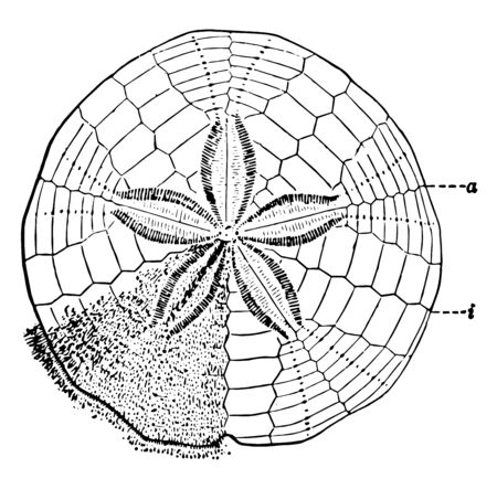 Sand Dollar also known as sea cookie or snapper biscuit in New Zealand, or pansy shell in South Africa. These are flattened. Illustration shows upper surface with the spines partly removed, vintage line drawing or engraving illustration.