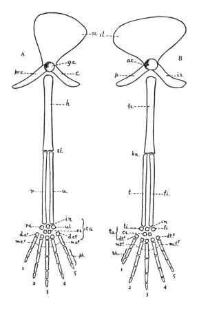 Diagrams of the girdles and appendages in a typical Vertebrate, vintage line drawing or engraving illustration.