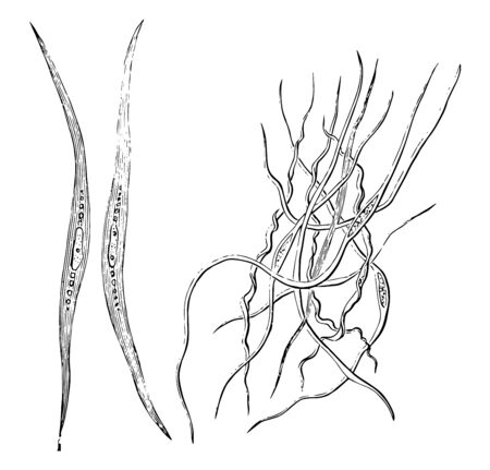 This illustration represents Smooth Muscle Fibers, vintage line drawing or engraving illustration.