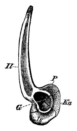 Pelvic girdle from the right side, vintage line drawing or engraving illustration.