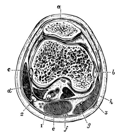 This illustration represents Transverse Section of the Knee Joint, vintage line drawing or engraving illustration. Иллюстрация