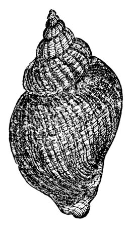 White Whelks are relatively large and are in the family Buccinidae, vintage line drawing or engraving illustration. Standard-Bild - 132981928