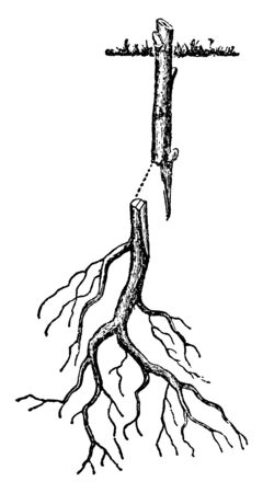 This illustration represents Root Grafting of Woody Plant which is used in agriculture and horticulture, vintage line drawing or engraving illustration. Illustration