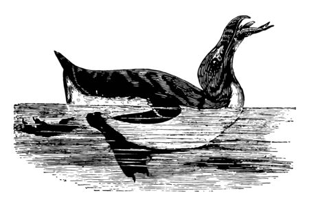 Auk is a bird of the family Alcidae in the order Charadriiformes, vintage line drawing or engraving illustration.