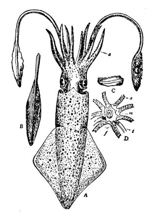 European Squid is a large squid belonging to the family Loliginidae, vintage line drawing or engraving illustration.