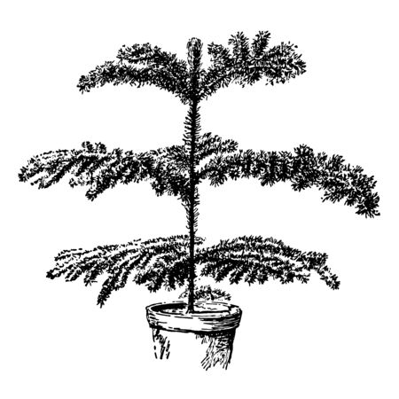 This image is a poor specimen of Araucaria Excelsa. In common language, this plant is known as Norfolk Island pine, vintage line drawing or engraving illustration.