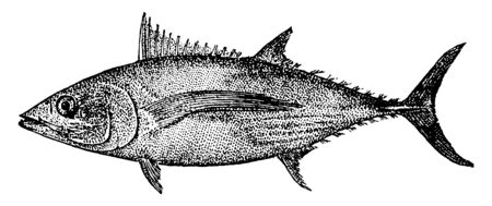 Albacore known also as the longfin tuna, vintage line drawing or engraving illustration. Standard-Bild - 132982110