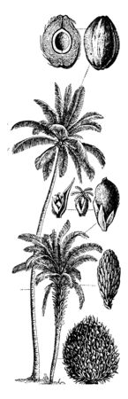 The tropical tree, Coconut is very useful. Its seed is useful to get oil, milk. It has hard shell. The mature flower turns into coconut, vintage line drawing or engraving illustration. Standard-Bild - 132982031