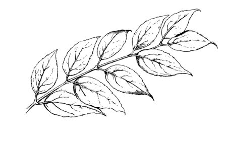 Branch of deutzia in opposite pair of leaves lying horizontally, vintage line drawing or engraving illustration.  イラスト・ベクター素材