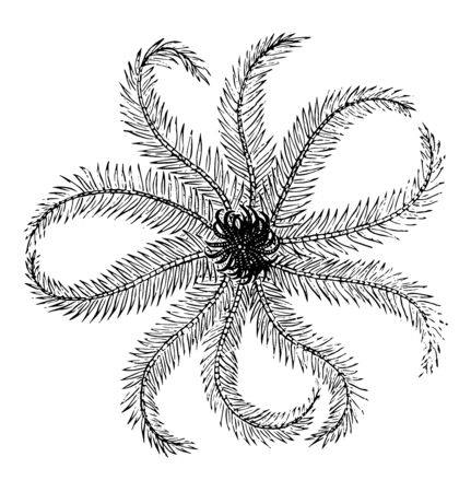 Crinoid are the marine animals. They live in both shallow water or in deep sea. They are also called Sea lilies or feather star. Mouth of crinoid is on the top surface surrounded by arms, vintage line drawing or engraving illustration.
