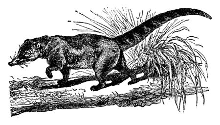 Mexican Coati ringed tail and a pointed snout, vintage line drawing or engraving illustration. Standard-Bild - 132981952