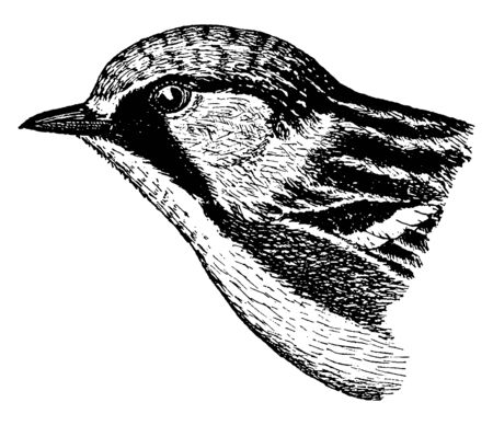 Chestnut sided Warbler is a New World warbler, vintage line drawing or engraving illustration.
