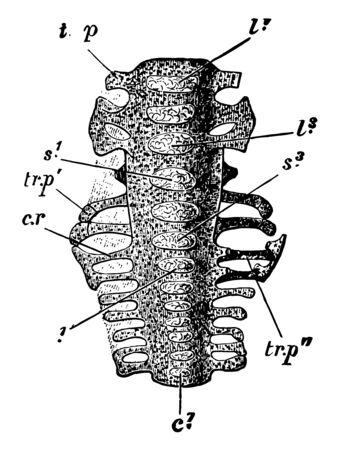 Sacrum of a nestling ventral aspect, vintage line drawing or engraving illustration. Çizim