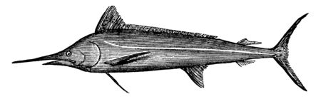 White Marlin a Sailfish is also called a billfish or spearfish, vintage line drawing or engraving illustration. Ilustração