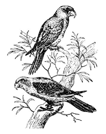 Gray Parrots belongs to the west coast of Africa, vintage line drawing or engraving illustration. Иллюстрация