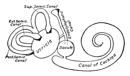 This illustration represents Membranous Labyrinth of the Ear, vintage line drawing or engraving illustration. Иллюстрация