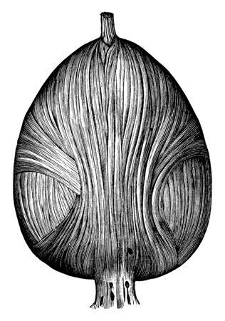 This illustration represents Fibers of the Bladder, vintage line drawing or engraving illustration. Çizim