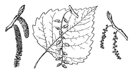 Branch of eastern cottonwood with flat and heart shaped leaves, fluffy cotton like hair and flowers, vintage line drawing or engraving illustration.