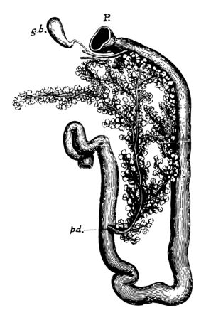 Duodenum of rabbit, vintage line drawing or engraving illustration.