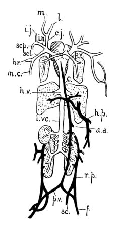 Venous system of frog are Mandibular and lingua, vintage line drawing or engraving illustration.