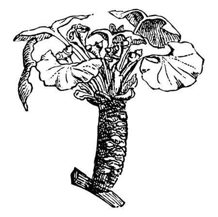 Tree that is the only living representative of the order Ginkgoales, vintage line drawing or engraving illustration.