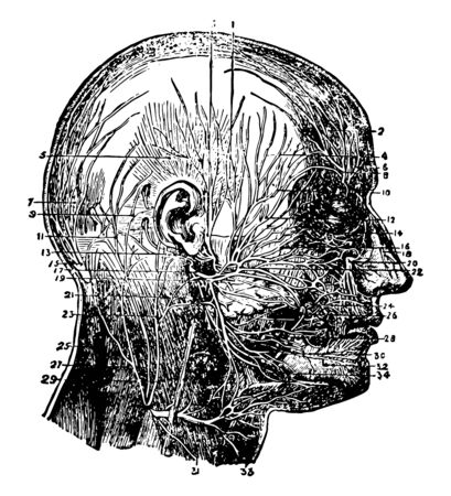 This illustration represents Nerves of the Face and Scalp, vintage line drawing or engraving illustration. Illustration