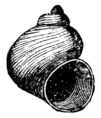 Cyclonema Mollusk is a mollusk radiate from the Paleozoic time, vintage line drawing or engraving illustration.