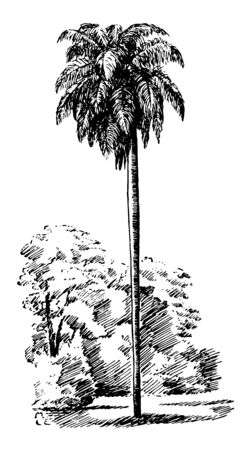 In this image show a tree species grows between thirty and forty five feet tall and his leaves so many big like not a normal leaves, vintage line drawing or engraving illustration.