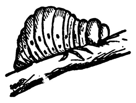 Colorado Beetle Larva which is popularly known as the potato bug, vintage line drawing or engraving illustration.