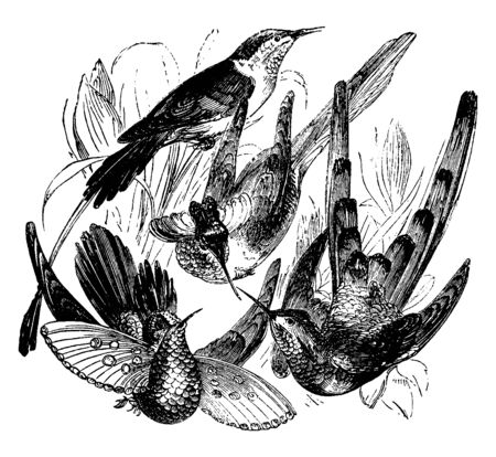 This image represents Hummingbird Species, vintage line drawing or engraving illustration.