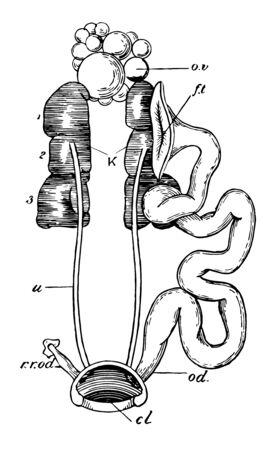 Female urogenital organs of pigeon, vintage line drawing or engraving illustration. Standard-Bild - 132993794