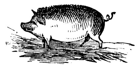 Hog is the common Eurasian wild boar along with other species, vintage line drawing or engraving illustration. Illustration