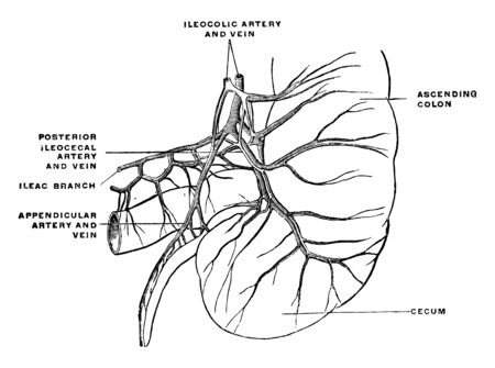 This diagram represents arteries and veins of the cecum and appendix, vintage line drawing or engraving illustration.