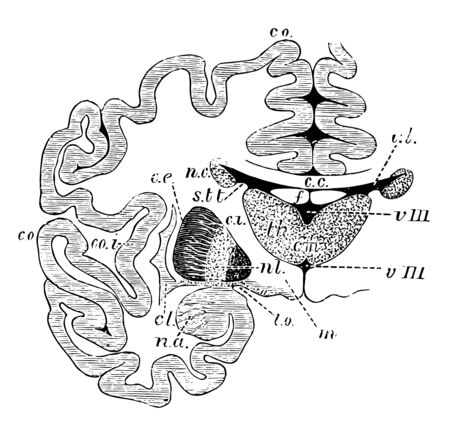 Vertical section through the cerebrum and basic ganglia to show the relation of the latter, vintage line drawing or engraving illustration.