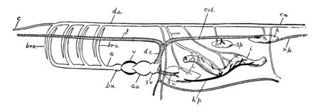 Diagram of the principal vessels in the circulation of a Fish, vintage line drawing or engraving illustration.