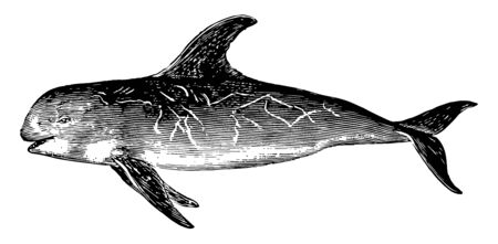 Risso Dolphin is the only species of dolphin in the genus Grampus, vintage line drawing or engraving illustration.