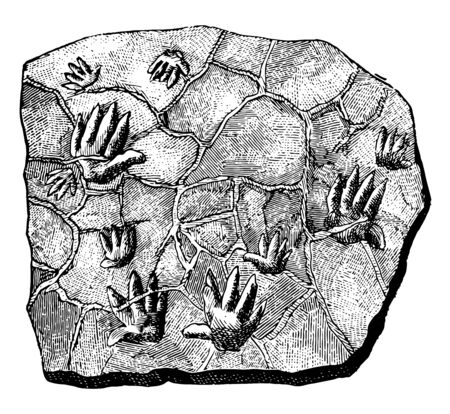 Chirotherium Tracks is the name of a Triassic trace fossil, vintage line drawing or engraving illustration.