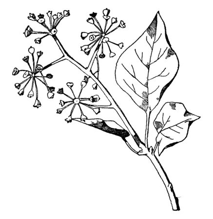 Ivy Spray has elliptic tapering leaves that are apparent after blooming, vintage line drawing or engraving illustration. Zdjęcie Seryjne - 132993350