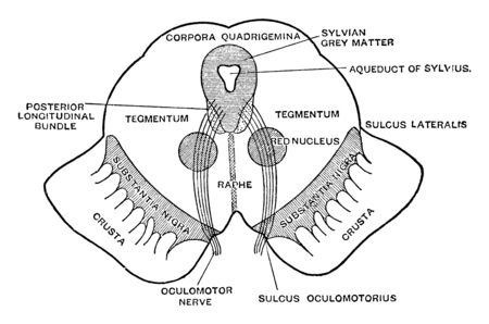 Diagrammatic view of the cut surface of a transverse section through the upper part of the mesencephalon, vintage line drawing or engraving illustration