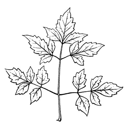 In this image are compound leaves, vintage line drawing or engraving illustration.  イラスト・ベクター素材