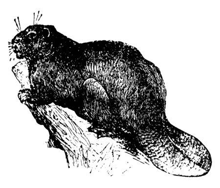 Beaver is distinguished from all other rodents by its flat and scaly tail, vintage line drawing or engraving illustration.