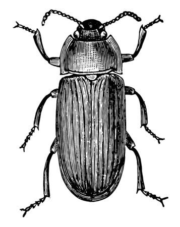 Mealworm Beetle is a species of darkling beetle, vintage line drawing or engraving illustration. Foto de archivo - 132980501