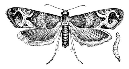 European Grapevine Moth is an insect in the Tortricidae family of tortrix moths, vintage line drawing or engraving illustration.