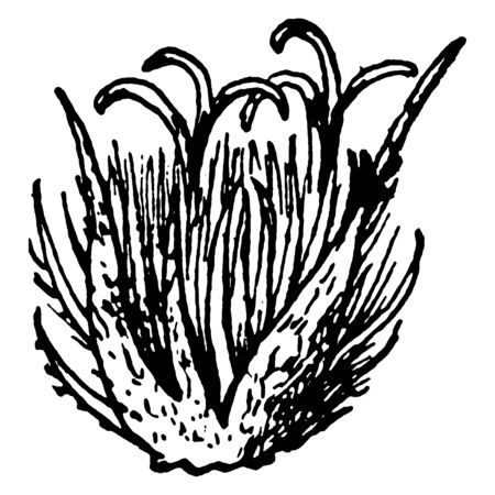 This shows the Pistillate flower of the Beech which is called as Beech Flower.This is very beautiful flower, vintage line drawing or engraving illustration.